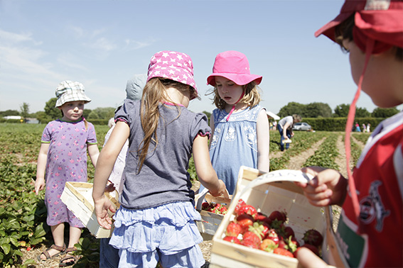 Kinder auf dem Erdbeerfeld und pfluecken Erdbeeren Kinder auf dem Erdbeerfeld und pfluecken Erdbeeren